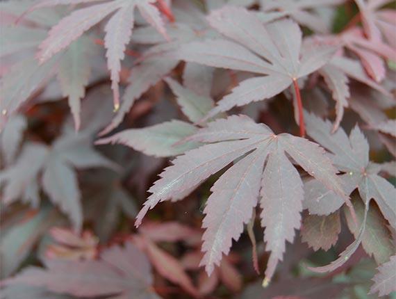 Acer Palmatum Skeeters Broom Erables Du Japon Ripaud Pépinières